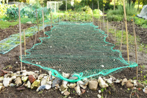 Planting Onion Sets under netting