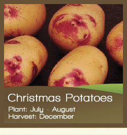 Christmas Potatoes