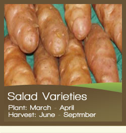 Salad Potatoes