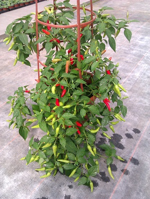 Chilli Super Chiili Seeds grown in a Patio Pot