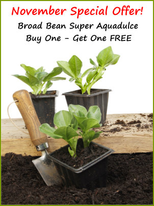 Broad Bean Seeds - Buy One Get One Free