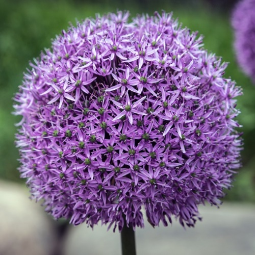Allium Bulbs Gladiator
