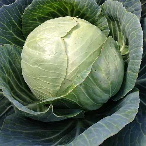 Cabbage Stonehead