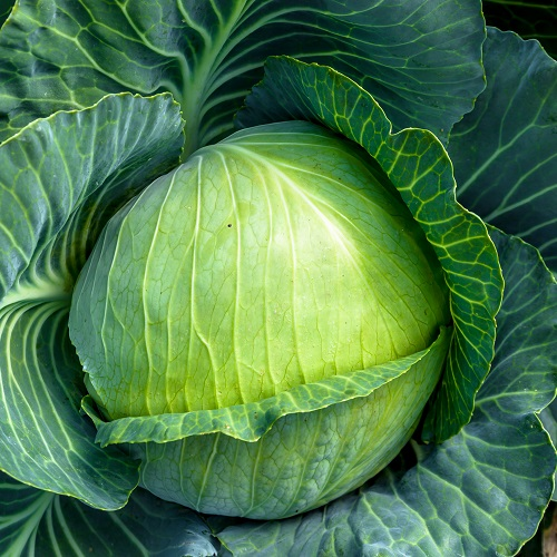 Cabbage Storka