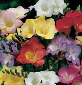 Freesia Bulbs -  Single Mixed