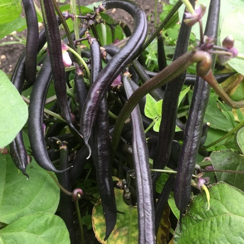 French Bean Purple Teepee