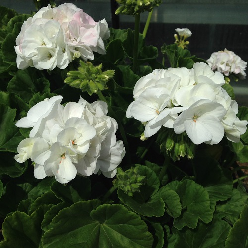 Geranium Seeds - F1 White