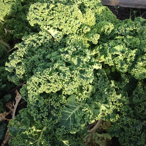 Kale Seeds Dwarf Green Curled
