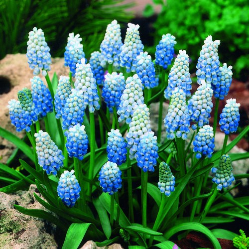 Muscari Bulbs -  Peppermint