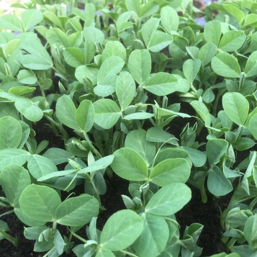 Pea Shoots Seeds