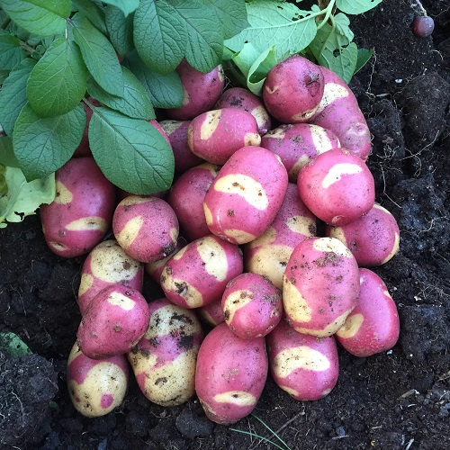 Apache Seed Potatoes