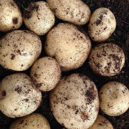 Foremost Potato Seed