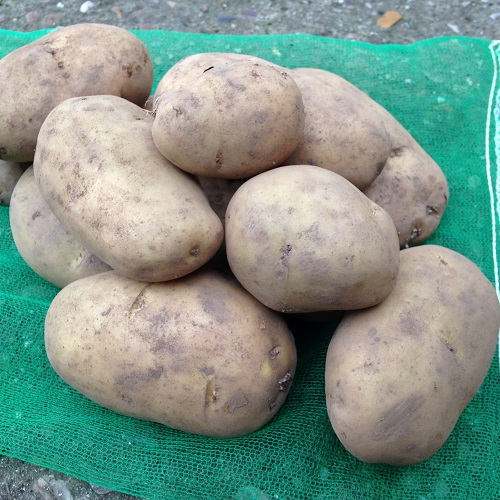 International Kidney Seed Potatoes