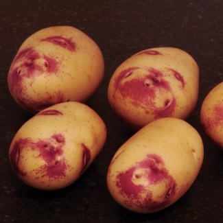Kestrel Potato Seed