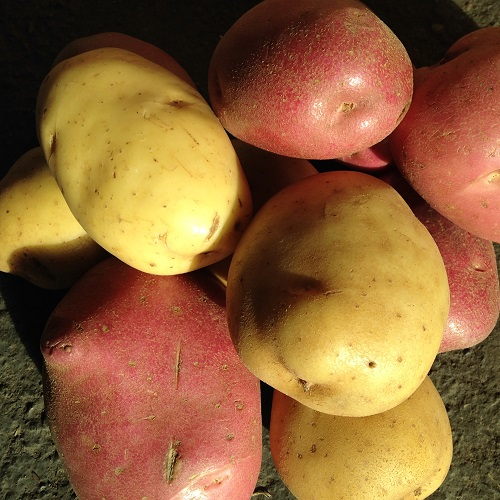 Early Season Potato Seeds Collection