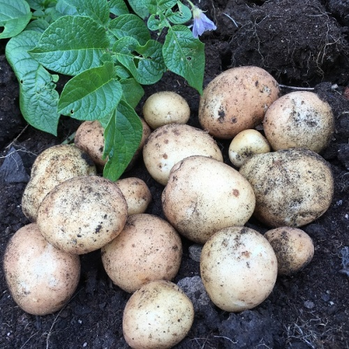 Rocket Potato Seed