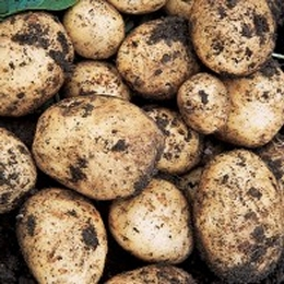 Swift Potato Seed