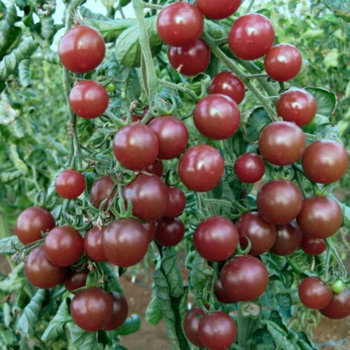 20 x cherry tomato seeds black opal for How to grow cherry tomatoes from seeds