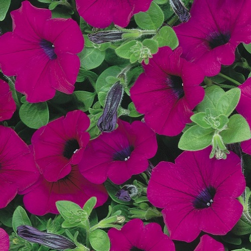 Trailing Petunia Seeds - Purple
