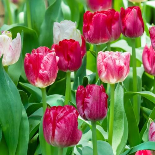 Buy Triumph Tulips Hemisphere 25 Bulbs Or Buy In Bulk