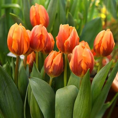Tulip Bulbs - Princess Irene