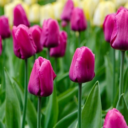 Tulip Purple Prince 25 Bulbs Or Buy In Bulk Spring