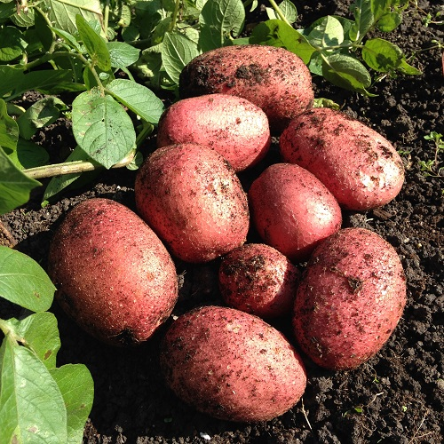 Rooster Potato Seed 1kg Maincrop