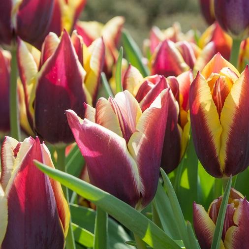 Tulip Bulbs Gavota