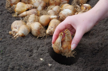 Large Flowering Daffodils Dutch Master 5kg Bulbs Or Buy