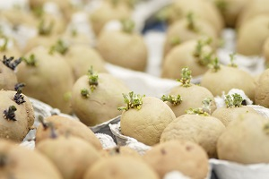 Chitting Seed Potatoes