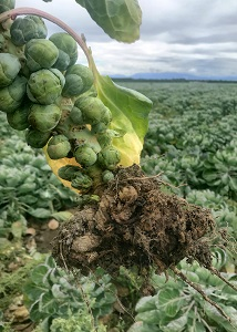Club Root shown on Brussel Sprouts roots.