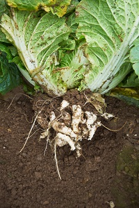 Club Root shown on Chinese Cabbage roots.