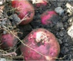 How to Grow Potatoes - the Basics.