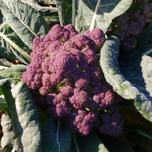 Broccoli Purple Rain