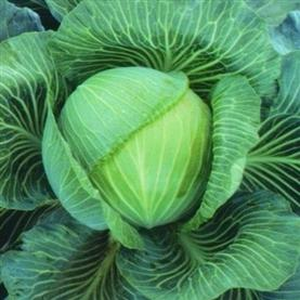 Cabbage Kilaton
