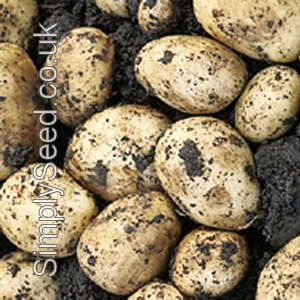 Christmas Potato Seeds -  Carlingford