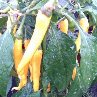 Chilli Cayenne Golden