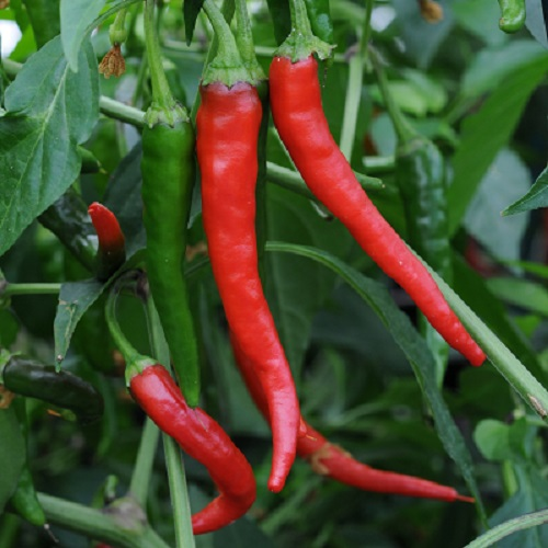 Chilli Cayenne Red