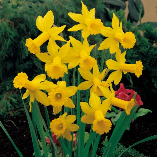 Mini Daffodil Bulbs - February Gold