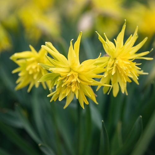 Mini Daffodil Bulbs - Rip Van Winkle