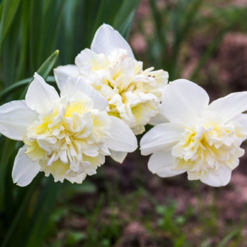 Daffodil Bulbs - Ice King