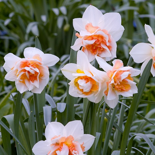 Daffodil Bulbs - Replete