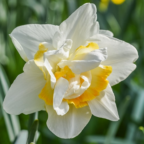 Daffodil Bulbs - White Lion