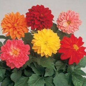 Dahlia Seeds - Mixed