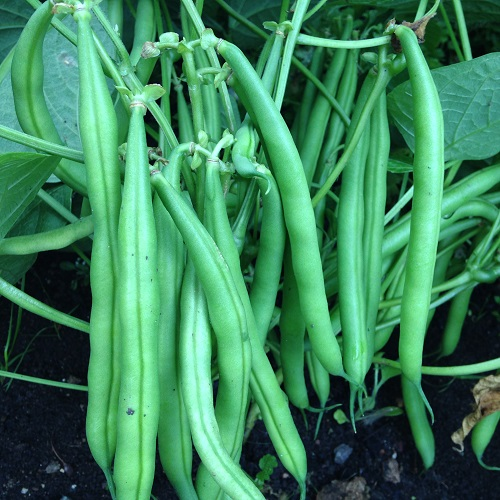 French Bean Montano