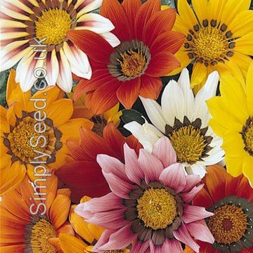 Gazania Seeds - Mixed