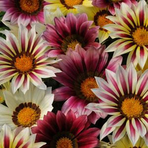 Gazania Seeds - Strawberry Sundae