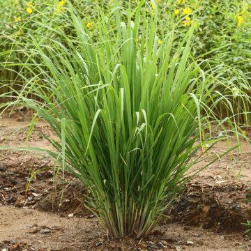 500 X Lemon Grass Seeds Herb Seeds Uk
