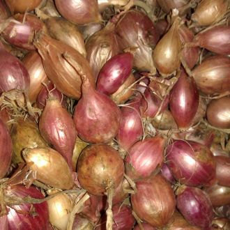 Onion Sets Red Winter- Autumn Planting