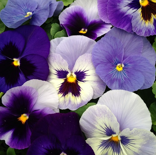 Pansy Seeds 'The Blues' Mixed